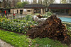 Tree down in Tanglewood Pool! : On January 21, 2010, the series of storms in California brought down a beautiful large Silver Dollar eucalyptus tree that for years had provided some welcome shade at our Tanglewood pool recreation area. The fourth day of heavy rains had saturated the ground; however, it may not have been the prime reason the tree fell. There was a report from a homeowner that an arriving guest witnessed a lightning strike to the tree, causing it to fall. It also took down a small part of the fence.