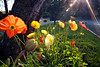 I've become enamored of Iceland poppies; they are so happy, dancing in the breeze. And they catch the light so very beautifully!