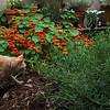 Spencer in the garden : My cat loves our tiny garden, but like most cats, he thinks it belongs to him.